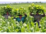 Тютюнопроизводители