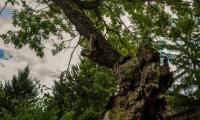 500-годишен дъб от Ново село