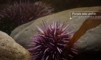 Кратко документално видео за морските таралежи