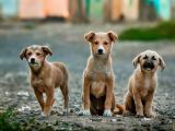 Безстопанствени кучета